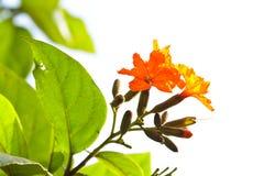 Цветок sebestena Cordia. Стоковое Фото