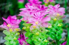 Цветок sessilis Ggnep куркумы Стоковые Фотографии RF