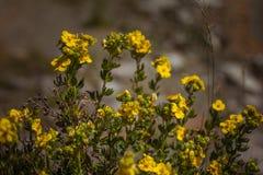 Цветок shrubby cinquefoil Стоковое Изображение RF