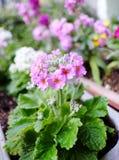Цветок sieboldii Primula Стоковая Фотография RF