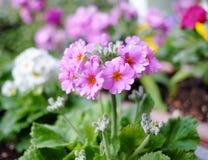 Цветок sieboldii Primula Стоковое Изображение RF