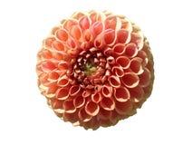 Цветок 'Snoho Дорис' шарика георгина peachy розовый изолировал на белизне Стоковая Фотография