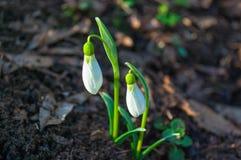 Цветок snowdrop весны Стоковые Изображения
