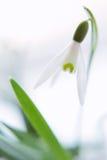 Цветок Snowdrop в нерезкости Стоковое Изображение RF