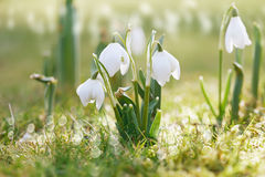 Цветок Snowdrop в природе с падениями росы Стоковое Изображение