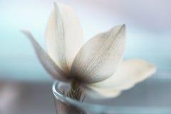 Цветок Snowdrop на белом снеге студии, мягком фокусе, улучшает для открытки Стоковое Изображение