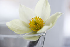 Цветок Snowdrop на белом снеге студии, мягком фокусе, улучшает для открытки Стоковое фото RF