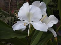 Цветок Sontakka Стоковое Изображение RF