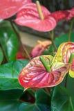 Цветок Spadix Стоковое фото RF