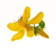 Цветок St. John's wort Стоковые Изображения RF