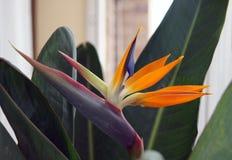 Цветок Strelitzia Стоковое Фото