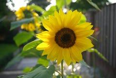 Цветок Sun Стоковое Фото
