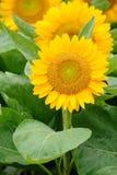 Цветок Sun стоковая фотография