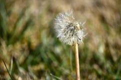 Цветок Taraxacum Стоковые Изображения RF