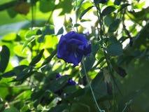 Цветок ternatea Clitoria Стоковое фото RF