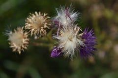 Цветок Thistle в утре лета Стоковое фото RF