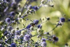 Цветок Thistle зацветая в саде, временени, солнечном дне, Szcze стоковые фотографии rf