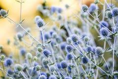 Цветок Thistle зацветая в саде, временени, солнечном дне, Szcze стоковая фотография rf