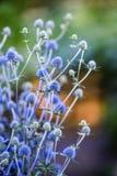 Цветок Thistle зацветая в саде, временени, солнечном дне, Szcze стоковые изображения rf