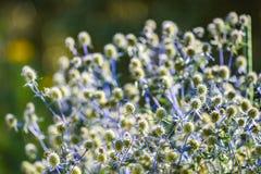 Цветок Thistle зацветая в саде, временени ERYNGIUM ZABELLI стоковое изображение