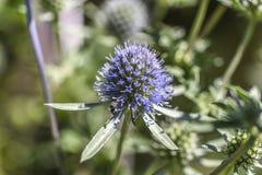 Цветок Thistle зацветая в саде, временени, солнечном дне, Szcze Стоковая Фотография