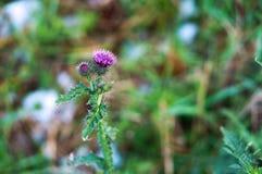 Цветок Thistle, лопух стоковые изображения