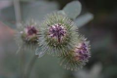 цветок, thistle, пурпур, позвоночники, тернии, терновый бутон, развивается, солнцецвет, природа, завод, зеленый цвет, весна, макр стоковые фотографии rf