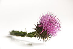 Цветок Thistle Стоковое Изображение RF