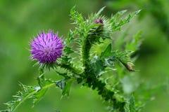 Цветок Thistle Стоковые Фотографии RF