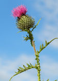 Цветок Thistle Стоковое фото RF