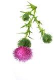 Цветок Thistle Bull шотландский Стоковые Фотографии RF