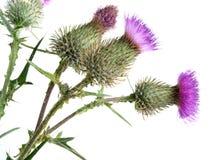 Цветок Thistles Стоковые Фотографии RF