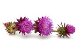 Цветок Thistles Стоковые Фото