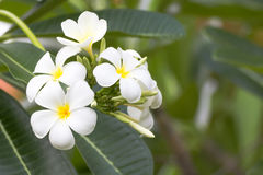Цветок thom Lan Стоковые Фотографии RF