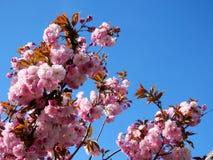 Цветок 2017 Thornhill красивый Сакуры Стоковое Фото