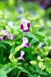 Цветок Torenia Wishbone более fournier Стоковая Фотография