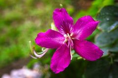Цветок TreePink цветня или бабочки purpurea Bauhinia Стоковое Изображение RF