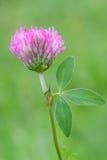 Цветок Trifolium Стоковое Фото