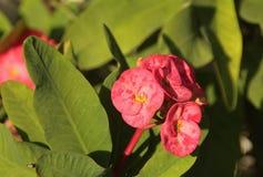 Цветок Tu y Yo, молочай Milii Стоковая Фотография