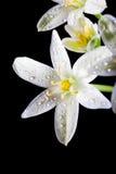 Цветок umbellatum Ornithogalum Стоковые Изображения