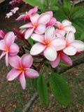 Цветок USVI Frangipani розовый стоковые изображения