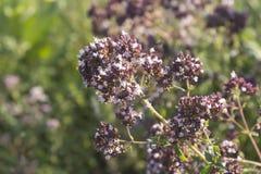 Цветок vulgare Origanum в луге стоковые изображения rf