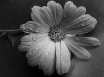цветок w b Стоковые Фотографии RF