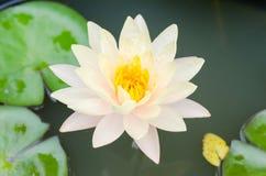Цветок Waterlily в пруде Стоковое Фото