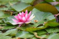 Цветок WaterLily стоковая фотография