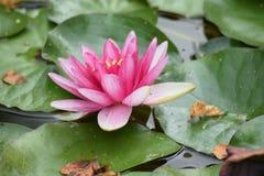 Цветок WaterLily стоковая фотография rf