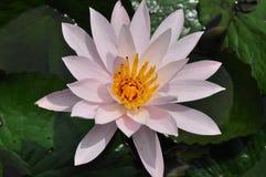Цветок Waterlily Стоковые Изображения RF