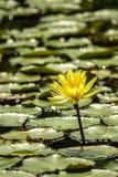 Цветок Waterlily blossoming и ломая вне над полем waterlily выходит Стоковая Фотография RF