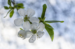 Цветок Whie Стоковое Изображение RF