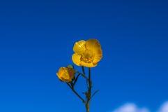 Цветок Yelllow против темносинего неба Стоковое Изображение RF